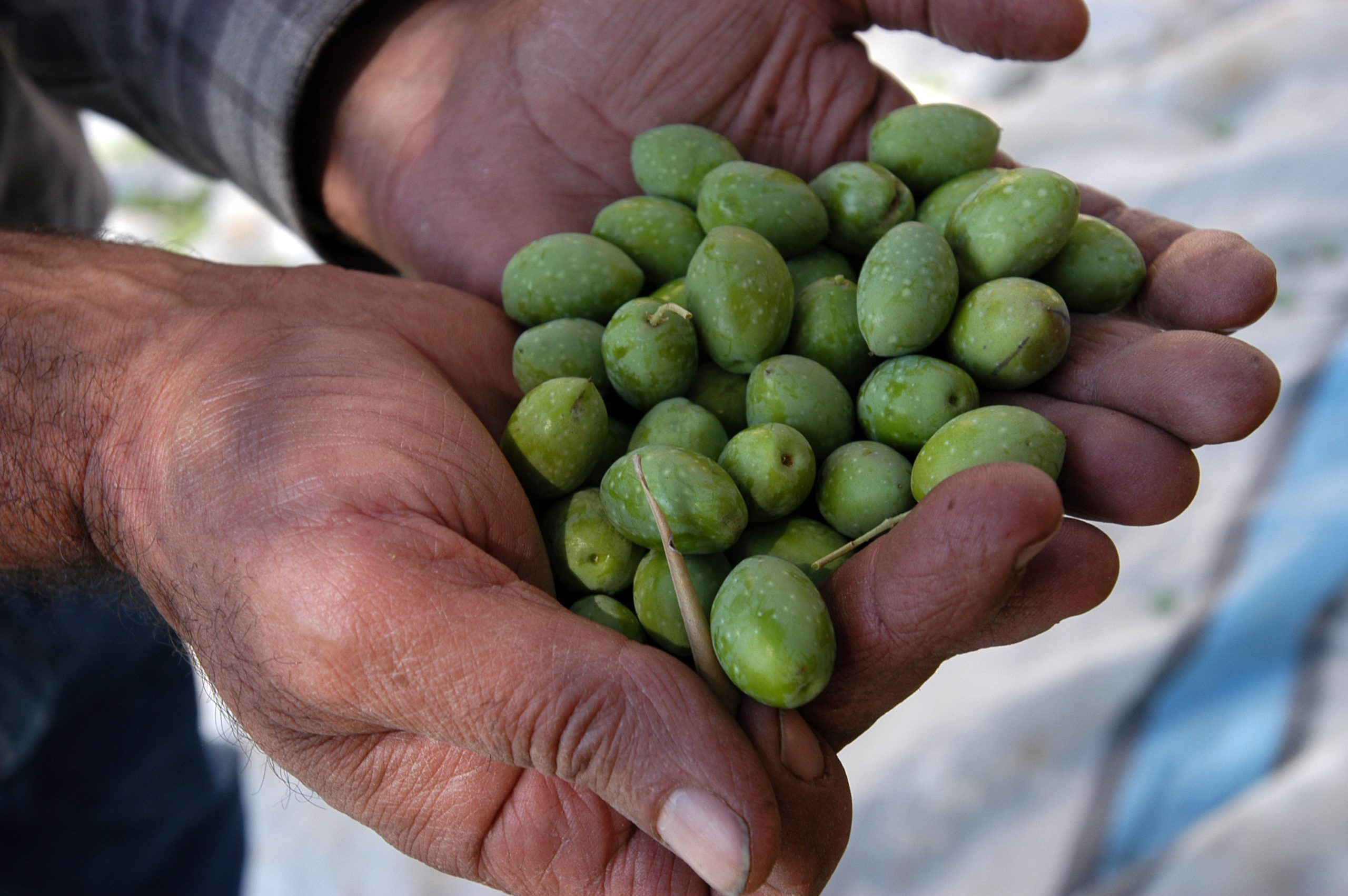 Libano - Progetto di supporto ai produttori d'olio d'oliva - Raccoltà
